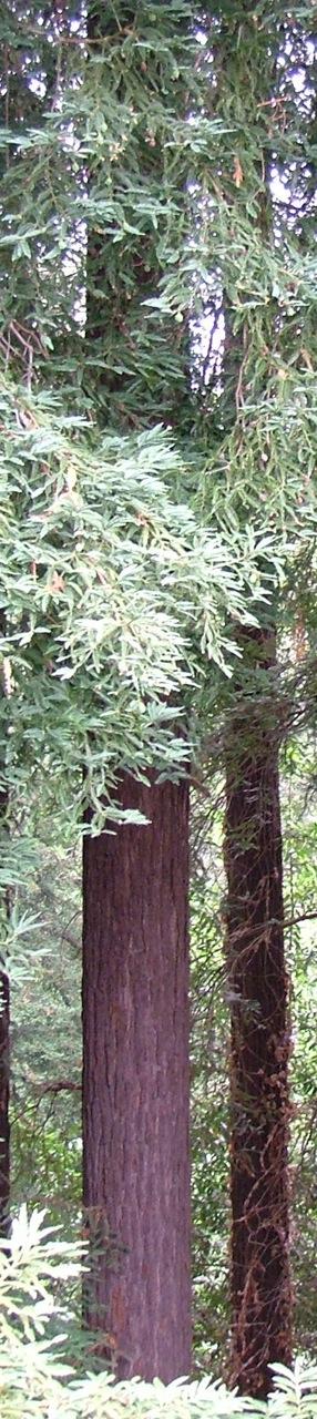 Redwoods5